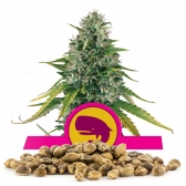 Royal Moby Bulk Seeds
