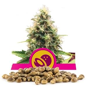 Somango XL Bulk Seeds