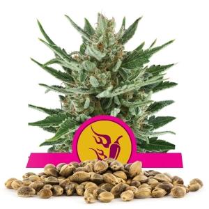 Speedy Chile Fast Version Bulk Seeds