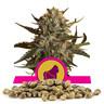 Royal Madre Bulk Seeds