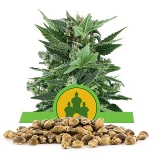 Royal Kush Automatic Bulk Seeds