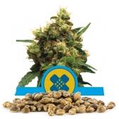 Painkiller XL Bulk Seeds