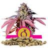 Σπόροι Purple Queen - Χονδρική