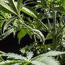 Κλιπ Εκπαίδευσης Φυτών για LST