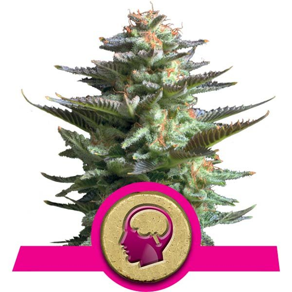 Amnesia Haze Royal Queen Seeds