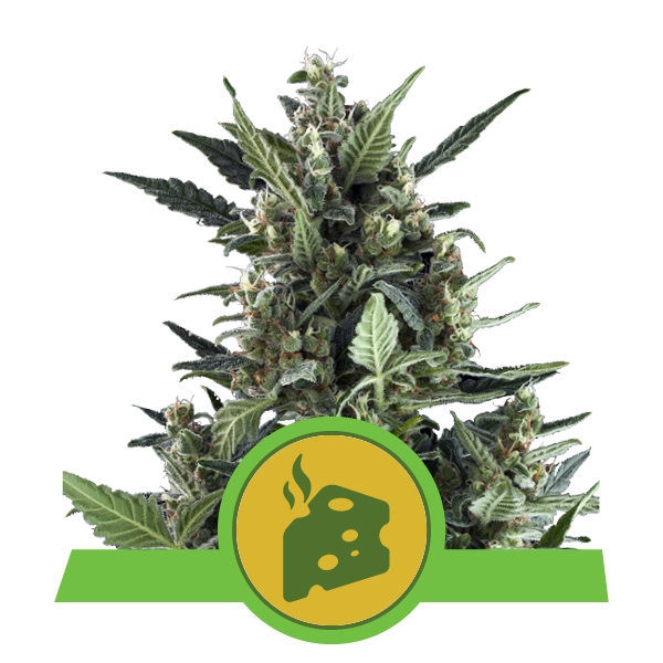 Blue Cheese Automatic Royal Queen Seeds