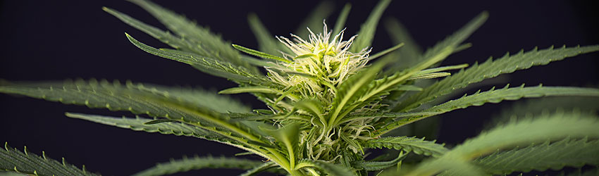Vegetative Cannabis Growth