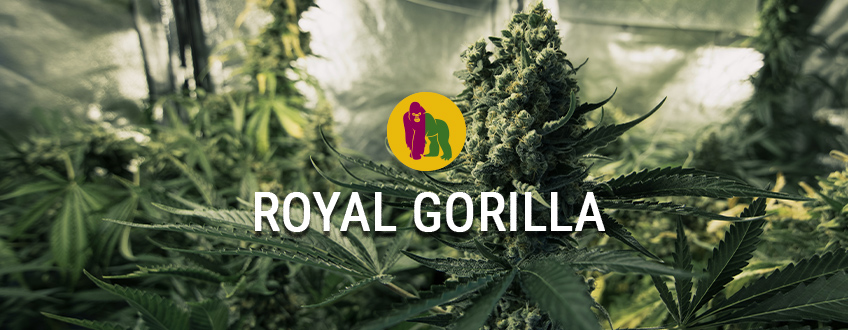 Royal Gorilla