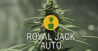 Royal Jack Automatic